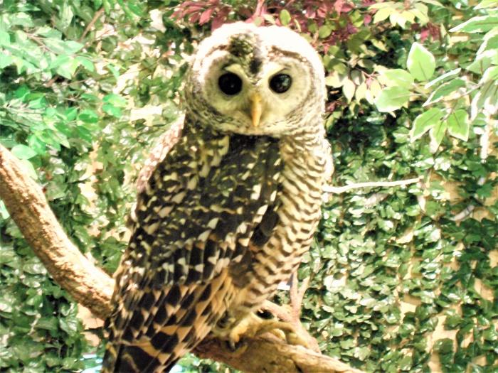 フクロウの画像 p1_30