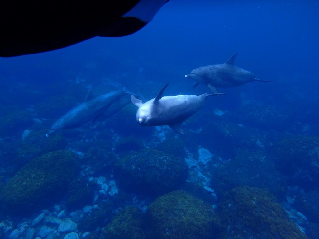 御蔵島のイルカ