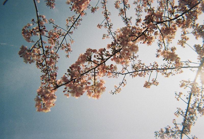 35㎜フィルム桜