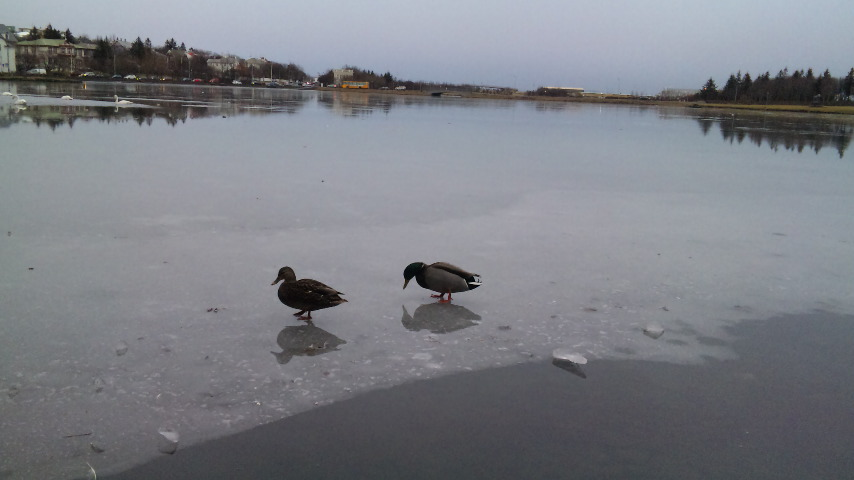 アイスランド鳥