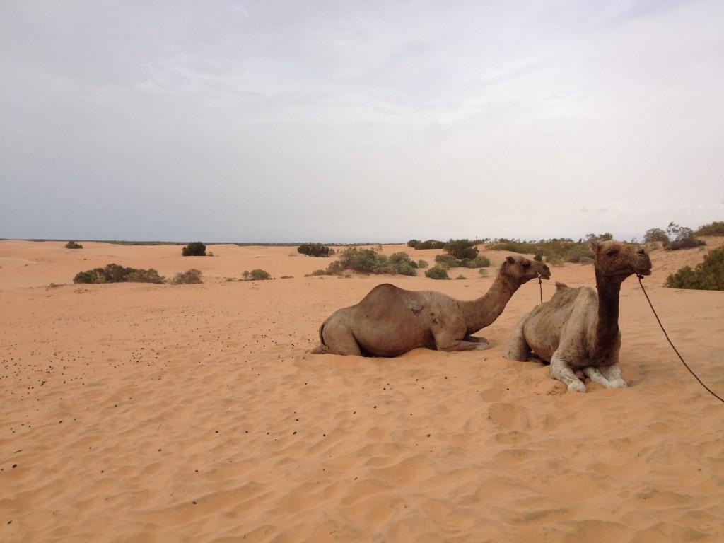 ラクダに乗って砂漠散策