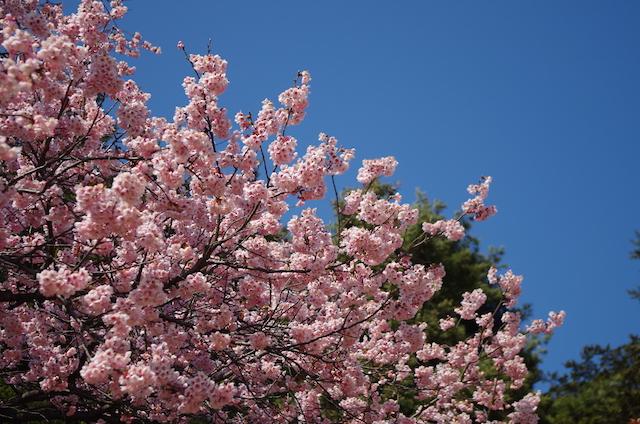 新宿御苑で寒桜が見頃です。