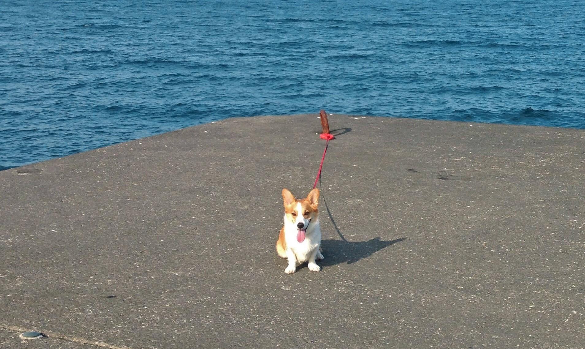 伊豆大島 コーギーのむぎさん