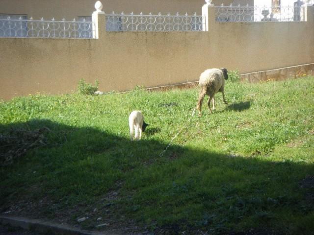 羊のお散歩風景