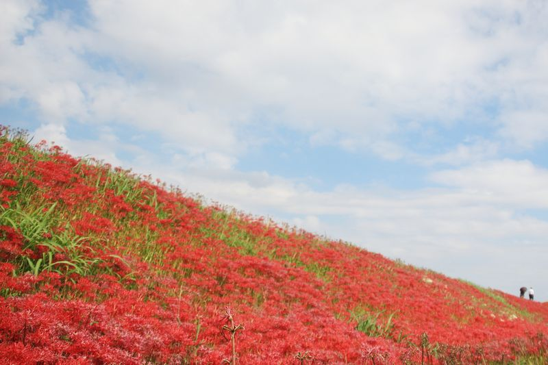 矢勝川の彼岸花で真っ赤に染まる!