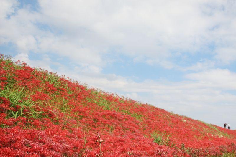 矢勝川の彼岸花