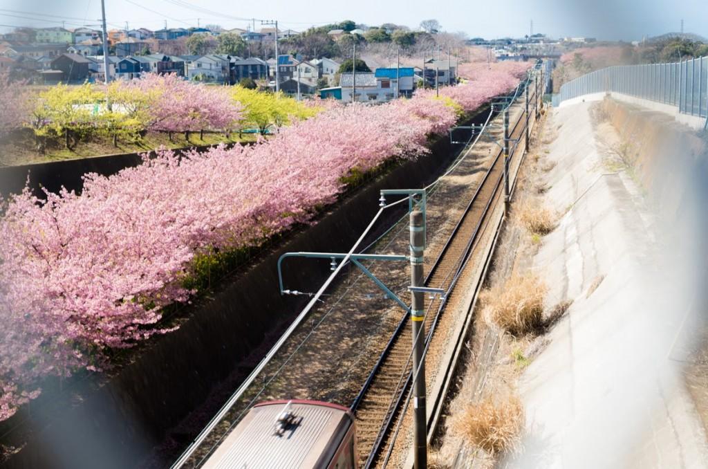 三浦海岸で河津桜&菜の花を!みさきまぐろきっぷ利用をお忘れなく