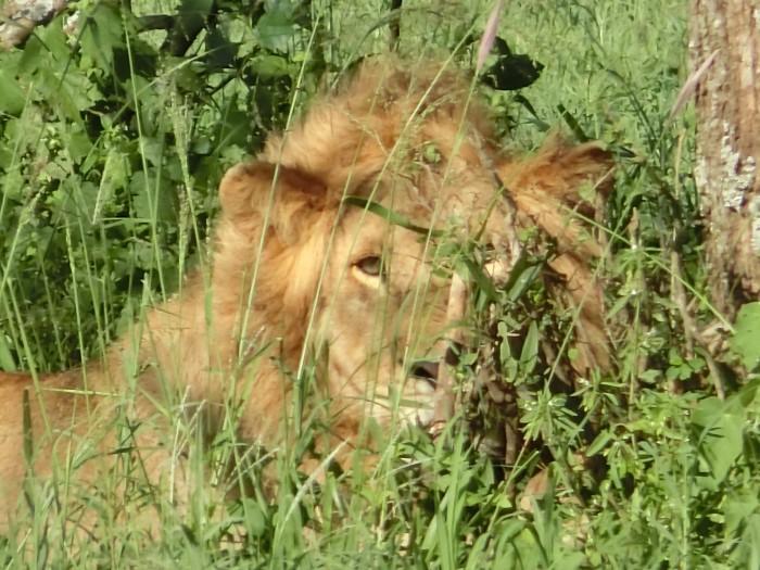 Cライオン