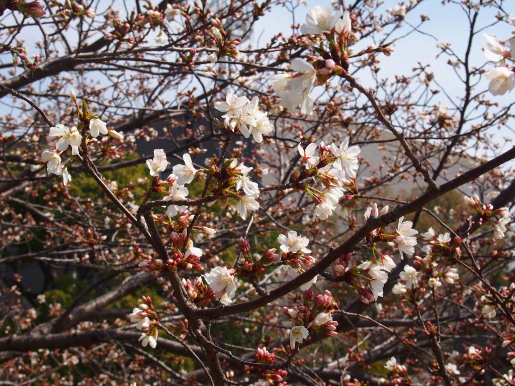 阪神の川桜スポット3選現地レポート!