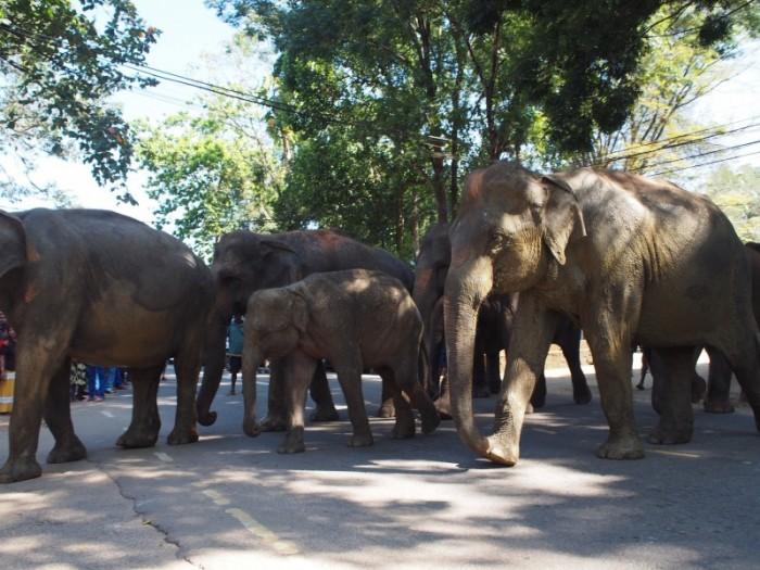 道路を渡る象たち