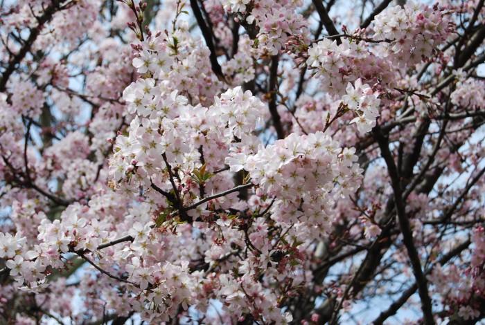 England Cherry Blossom