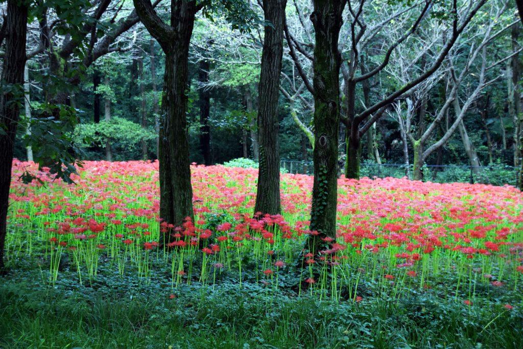 野川公園には怖いくらい真っ赤な彼岸花のじゅうたんが広がっています