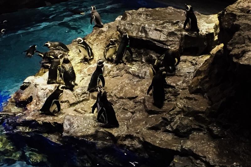 すみだ水族館のマゼランペンギン