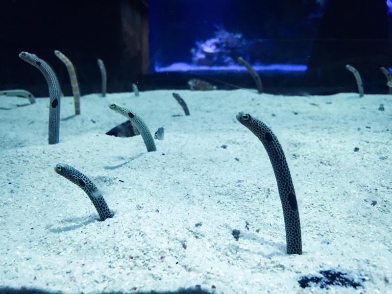 すみだ水族館チンアナゴ