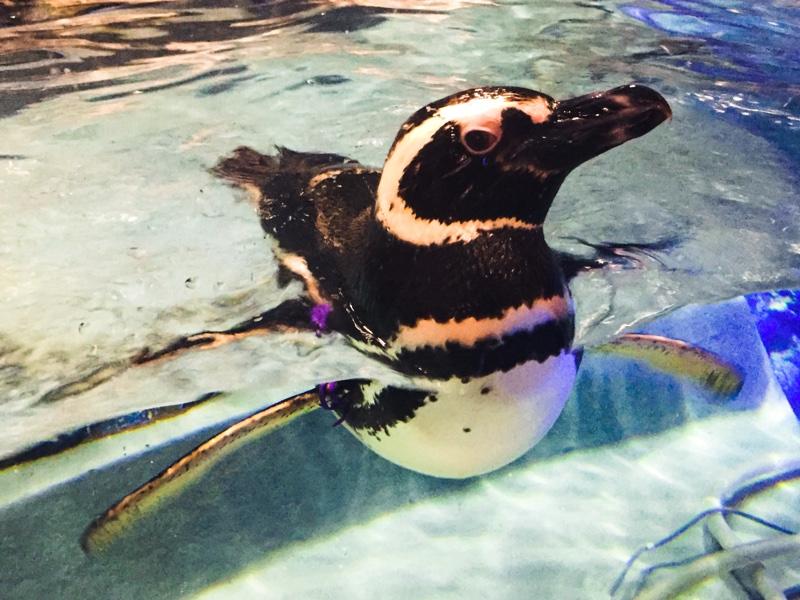 すみだ水族館のマゼランペンギン「グレープ」