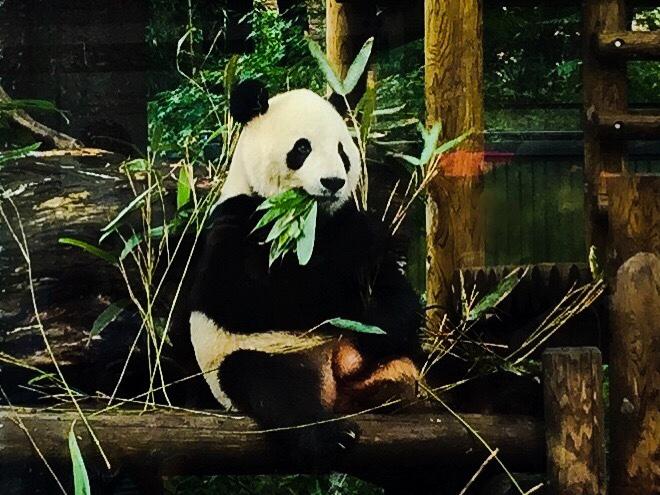 上野動物園の起きてるパンダ