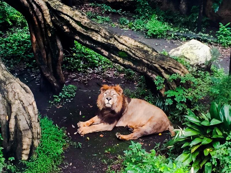 上野動物園のライオン