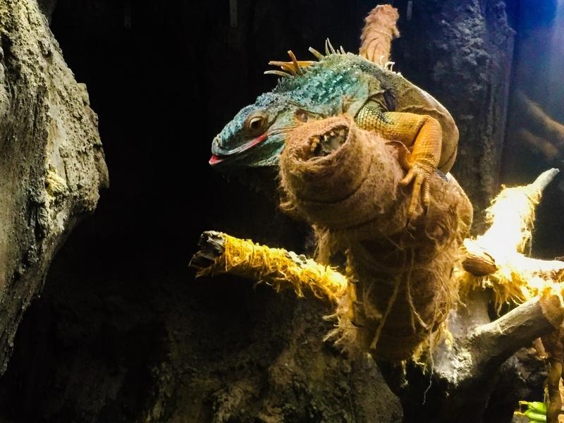 上野動物園のイグアナ