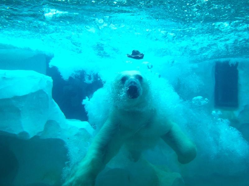 上野動物園のホッキョクグマ(餌やり)