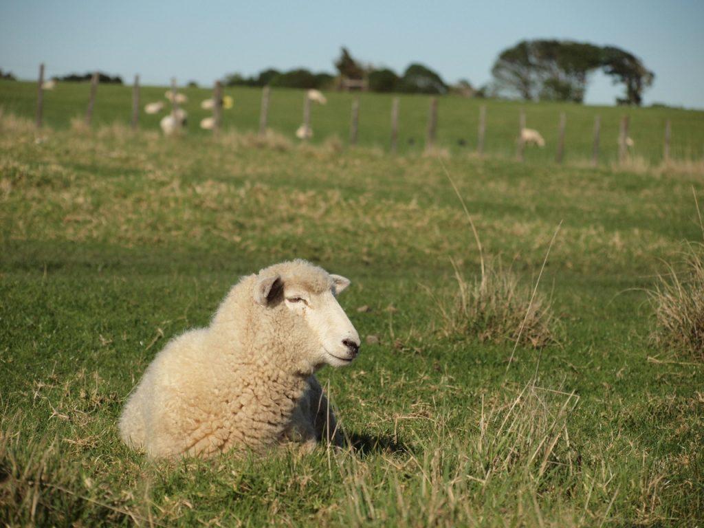 アンバリー自然公園 ニュージーランド 羊