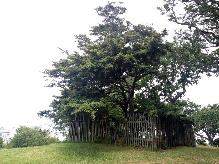 マオリ族の記念樹