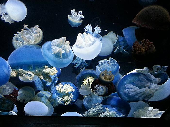 加茂水族館5_クラゲ