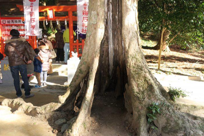 鶏石神社前の木
