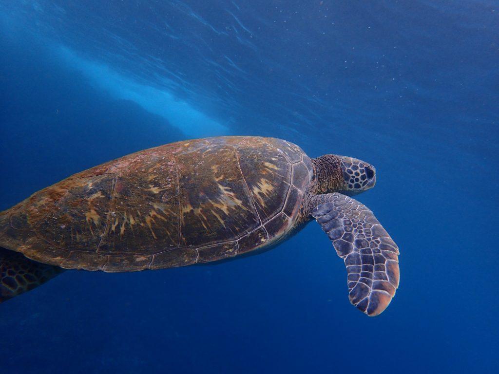 ウミガメ見るなら東京・八丈島!90%以上の確率で出会える、その方法とは。