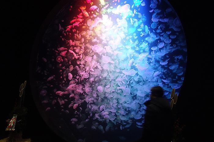 クラゲだらけの水族館「加茂水族館」が本当にクラゲだらけでした