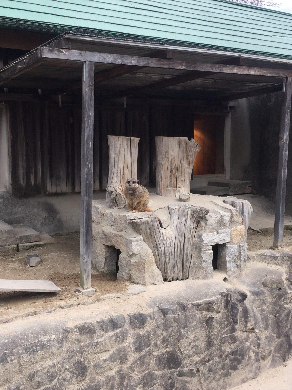 東公園動物園_ミーアキャット_2