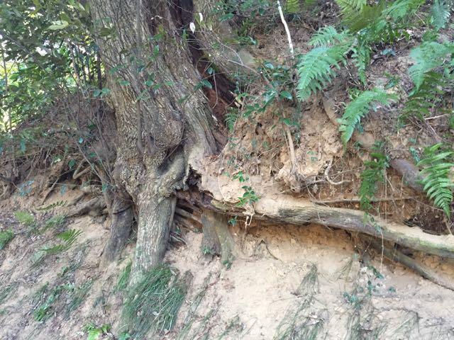 城址 木の根っこ