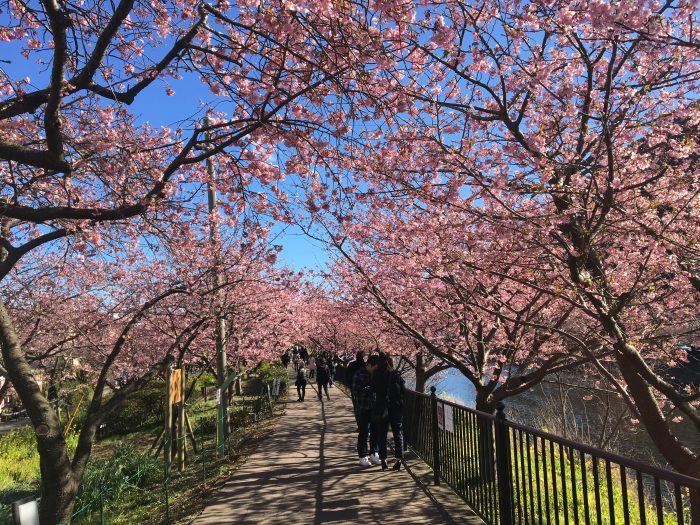 館橋桜並木