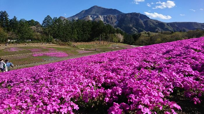 GWは秩父を象徴する武甲山と芝桜が見ごろ