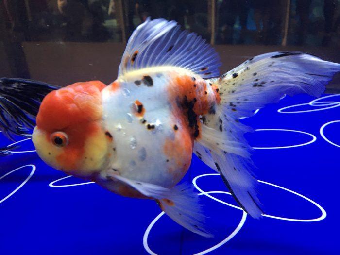 観賞用金魚