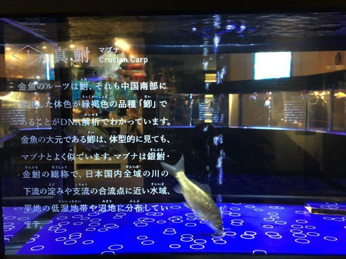 金魚ルーツ