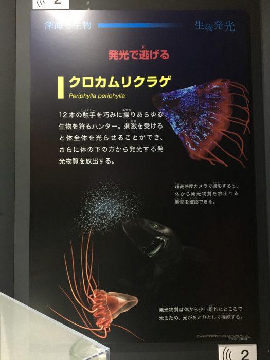 クロカムリクラゲ