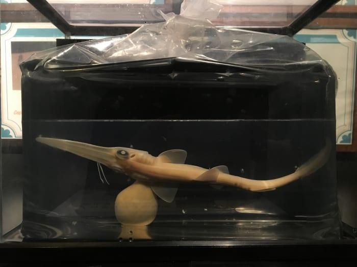 ノコギリザメの胎児