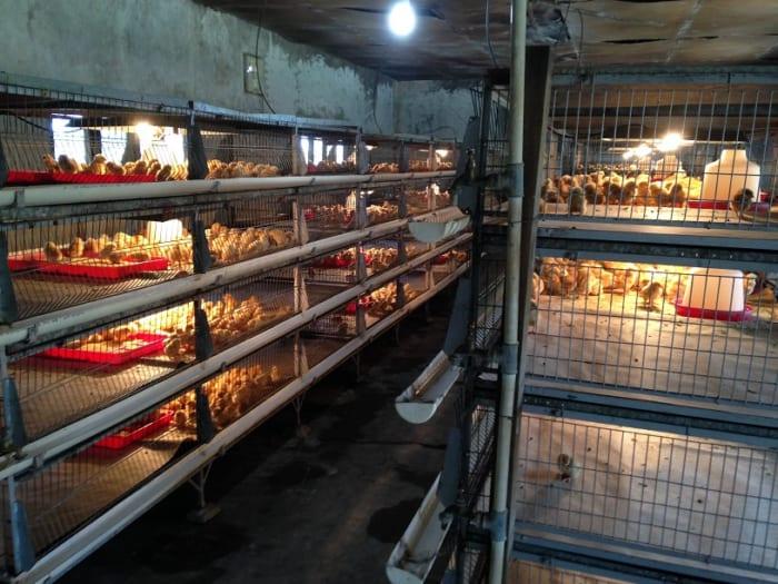 ボリビアで日系人の養鶏場に行ってみた