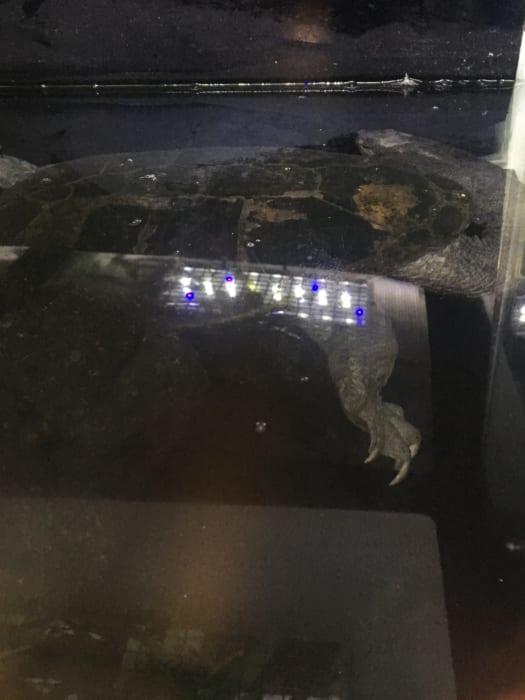 ジーベンロックナガクビガメ